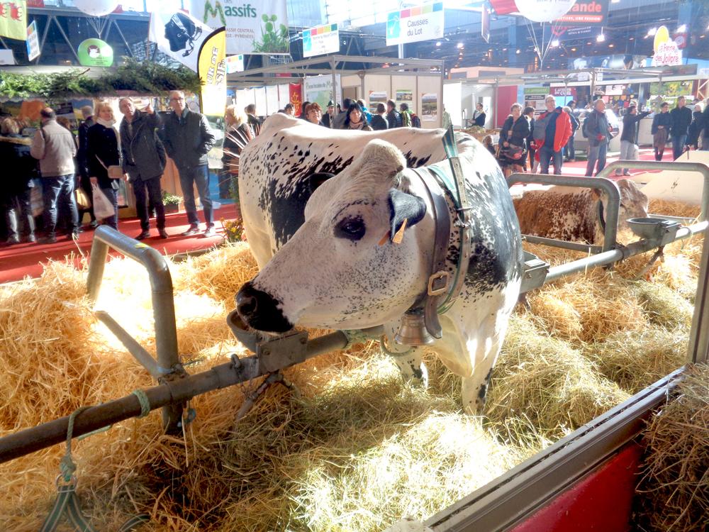 Krowa rasy vosgienne. Czyż nie jest podobna do naszych krów białogrzbietek?